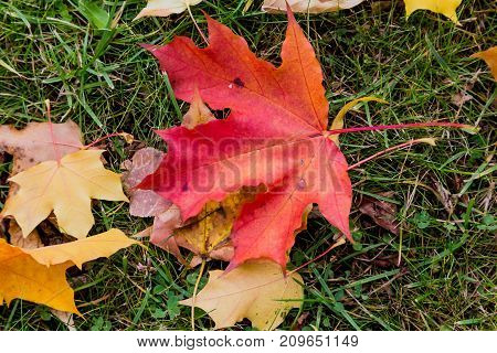 Autumn red maple leaves on lawn. A tree with broad in most species curly leaves.