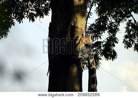 Head of a giraffe eating along a tree