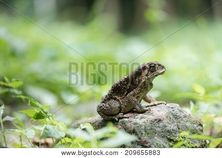 Asian common toad in feel of nature Amphibian of Thailand