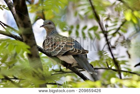 Wild Dove, Rare And Cautious Bird With The Latin Name Streptopelia