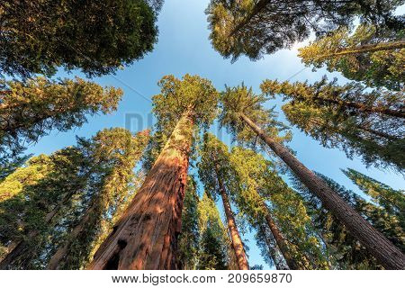Giant Sequoias Forest. Sequoia National Park in California Sierra Nevada Mountains