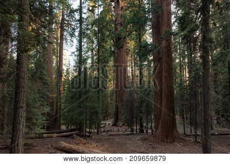 Redwood forest in Sequoia National Park, California.