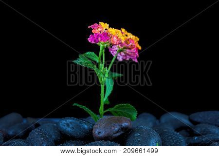 Spa stones and flowers with water drops on black background