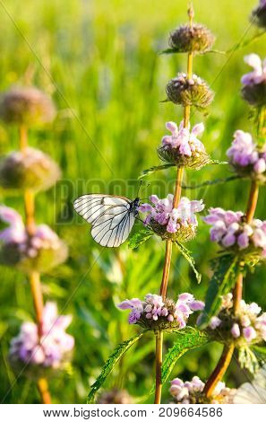 White butterfly with black veins of hawthorn gathers nectar sitting on purple flowers in summer