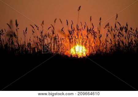 Sunset in the summer and the beautiful silhouette of high grass tilt