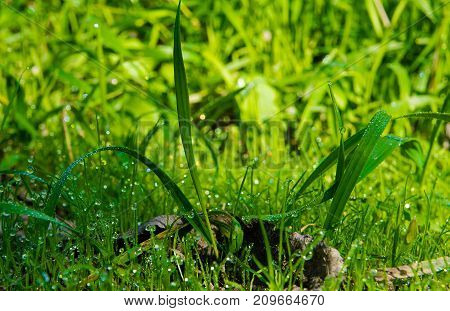 Large transparent drops of morning dew on green grass in summer close-up