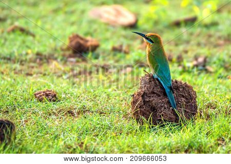 Blue-tailed Bee-eater or Merops philippinus perching in nature background. Yala National park, Sri Lanka