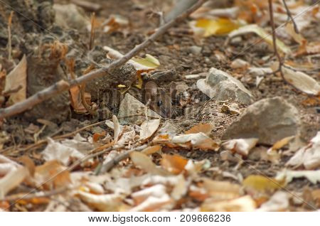 Small forest wooden mouse peaking from hole