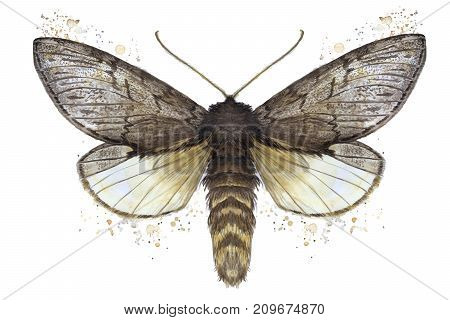 A watercolor drawing of a furry butterfly, a brown color, wings of light with spots on a white background for decor, prints