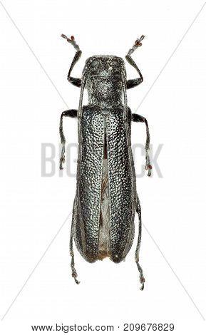 Lime Beetle on white Background - Stenostola dubia (Laicharting 1784)