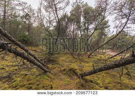 Thicket Of Mountain Spruce, Moss And Windbreak