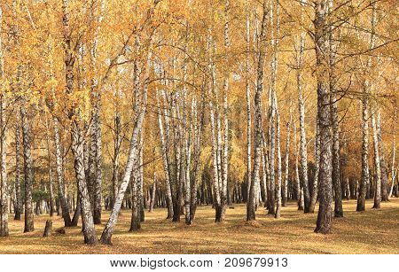 beautiful scene in yellow autumn birch forest in october with fallen yellow autumn leaves