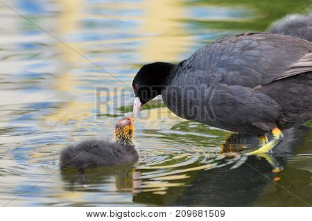 Close-up of a little Coot (Fulica) Family at the Lake. View on a beautiful Coot Family in the Water. Moorhens and Coots. Nature and Animal Backgrounds.