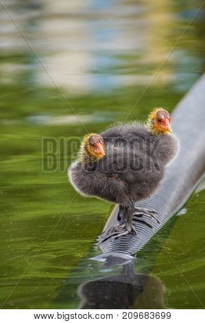 Close-up of two little Baby Coots at the Lake. View on a beautiful young Coots in the Water. Moorhens and Coots. Nature and Animal Backgrounds.
