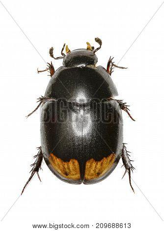 Water Scavenger Beetle on white Background - Sphaeridium lunatum (Fabricius 1792) poster