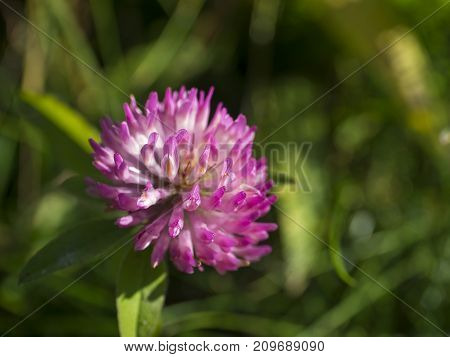 Close Up Blooming Pink Flower Head Of Clover Or Shamrock On Green Background