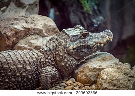 Dwarf Crocodile. One of the world's smallest Crocodile. Resting on the rocks by the water.