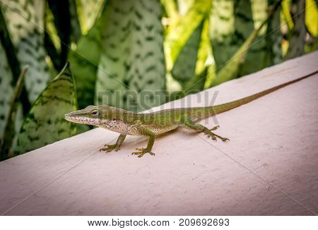 Gecko on Caribbean wall. Resting green Gecko in the Dominican Republic with exotic leaves providing a lush background