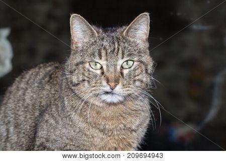 cat european wildcat nature europe predator feline portrait poster