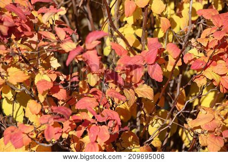 Multicolored leaves / Autumn landscape / Deciduous leaves / Background of multi-colored leaves