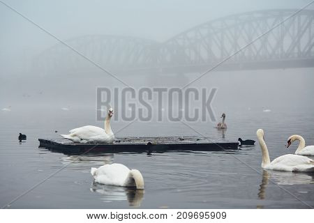 Swan on the river against old iron bridge in mysterious fog. Autumn morning in the city. Prague Czech Republic