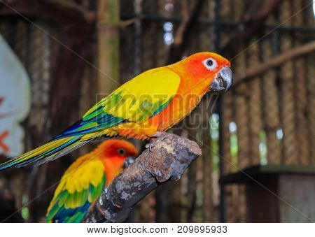 Bird Yellow parrot perched on a branch and observes
