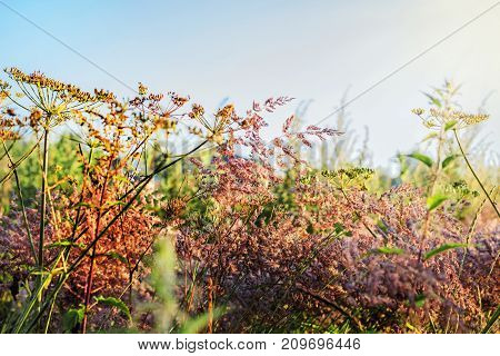 Pretty field grass at dawn at sunny weather