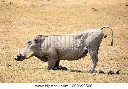 Phacochoerus or Wild Pig defecating at Ngorongoro crater, Tanzania