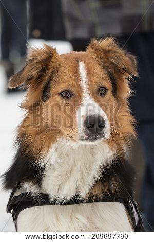Border collie shepherd dog portrait outdoors adult