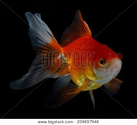 gold fish isolated on black background  pharmacy, dosage, tablet, antibiotic,