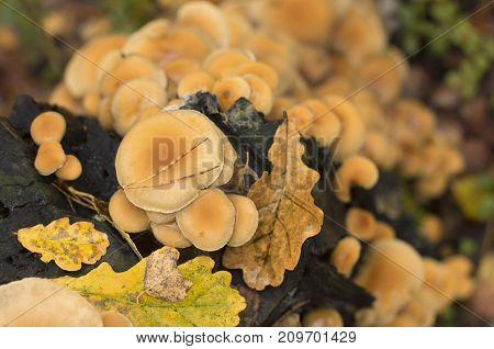 Colony of fungi on a tree trunk with fallen leaves in autumn the view from the top