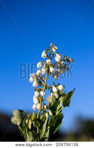 Field of blueberries, bushes with future berries against the blue sky. Farm with berries. Ukraine.