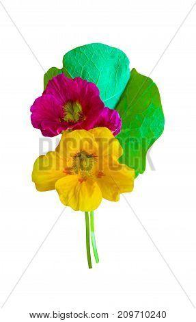 nasturtium. Nasturtium flowers. Nasturtium flowers isolated on white background. Set of nasturtium flower.
