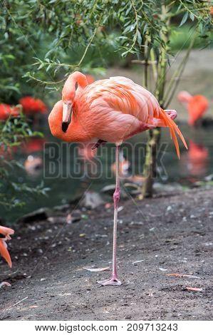 ibis scarlet bird eudocimus red ruber trinidad wild flying nature environment tobago wildlife water tree animal beak america