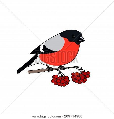Colorful Bullfinch Isolated on White Background Bullfinch Sitting on a Branch with Bunches of Rowan Christmas Decorations Merry Christmas and Happy New Year