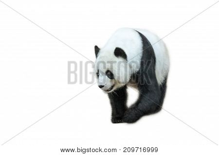 The Giant Panda, Ailuropoda melanoleuca, Also known as panda bear, is a bear native to south central China. Panda walking in front, isolated on white background.