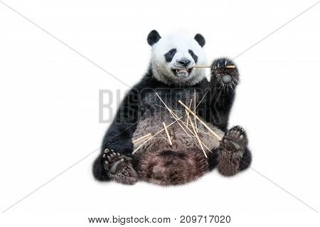 A funny Giant Panda eating bamboo shoots, isolated on white background. The Giant Panda, Ailuropoda melanoleuca, also known as panda bear, is a bear native to south central China