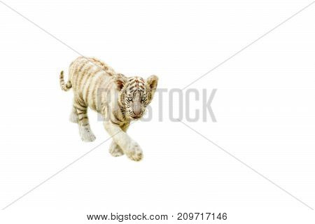 cute baby white tiger walking, Panthera tigris, play together. Isolated on white background. copy space on pure white