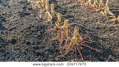 Closeup of the reddish colored roots of harvested maize plants in a field. It is in the beginning of the fall season now.