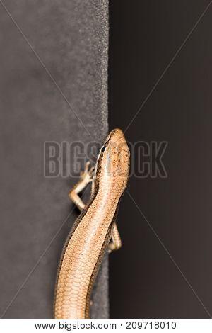 lizard on black . photo in the studio