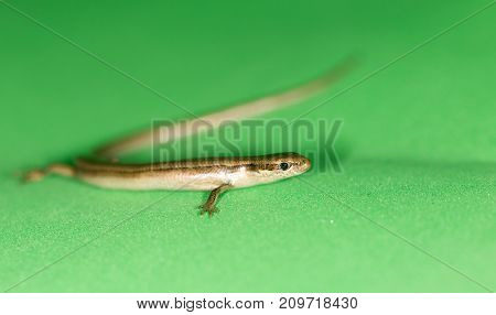 lizard on a green background . photo in the studio