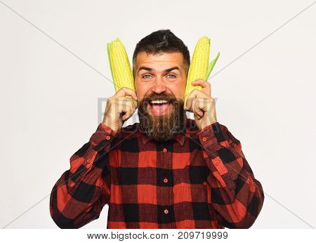Man With Beard Holds Ripe Corn Cobs On White Background