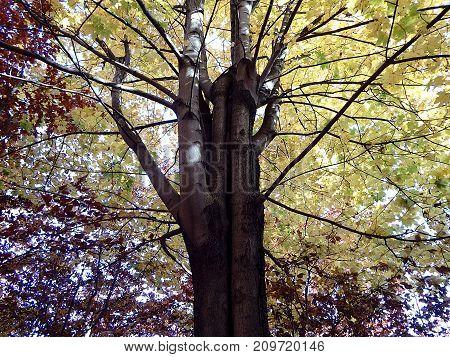 Colored maple leaf , (Acer pseudoplatanus) , Autumn-colors