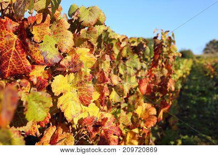 France the Burgundy region: autumn vineyard. Focus selective