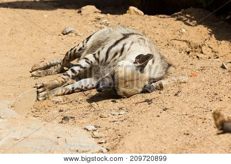Striped hyena rests after night hunting, on hot African sand in the early morning