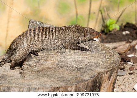 the striped mongoose rests on a stump after a night hunt in Ruaha National Park , Iringa, Tansania