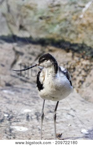 Pied avocet in the Bukle du Baule National Park at the west of Mali