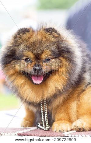 smiling dog of the Spitz breed, bared his teeth and stuck out his tongue. 2018 year of the dog in the eastern calendar Concept: parodist dogs, dog friend of man, true friends, rescuers.