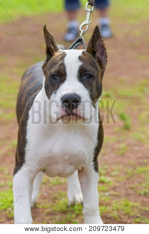 Bull Terrier dog looks at the camera. Space under the text. 2018 year of the dog in the eastern calendar Concept: parodist dogs, dog friend of man, true friends, rescuers.