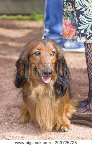 Long-haired dachshund goes to the camera next to the female legs along the sand track. Space under the text. 2018 year of the dog in the eastern calendar Concept: parodist dogs, dog friend of man, true friends, rescuers.